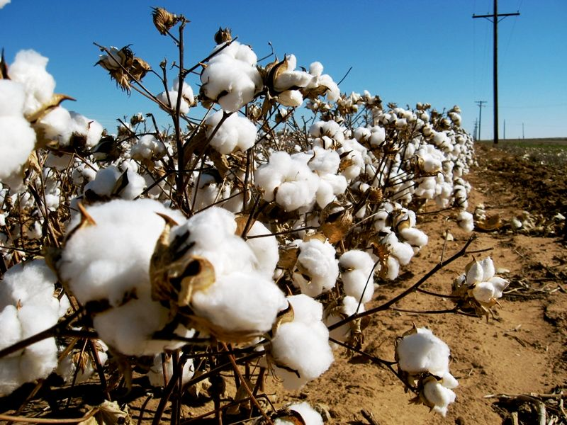 A Cotton Field in Gujarat