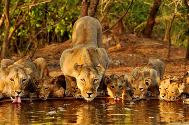 asiatic-lions-at-gir-national-park