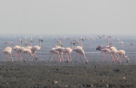 Flamingos migrated at Sewri, Harbour