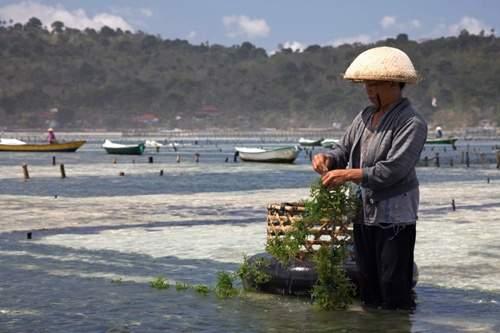 picking seaweed