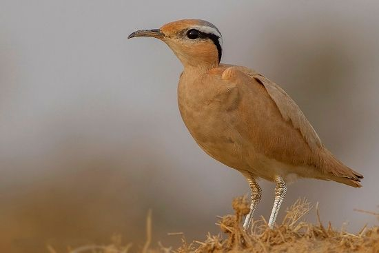 Cream coloured Courser