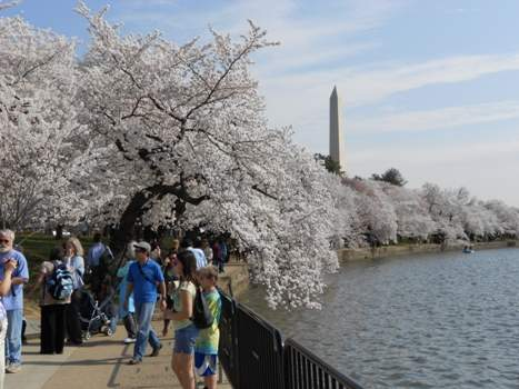 The cherry blossoms in the National Mall