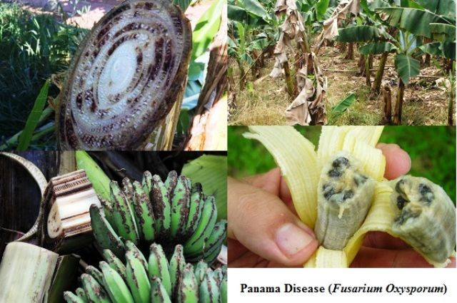 Banana Panama Disease