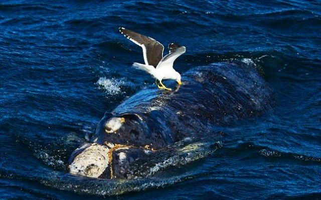Birds Hunting Whales