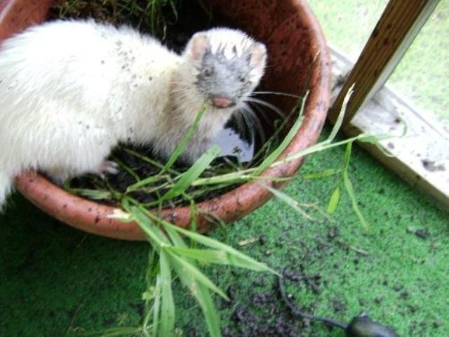 Ferrets Hiding