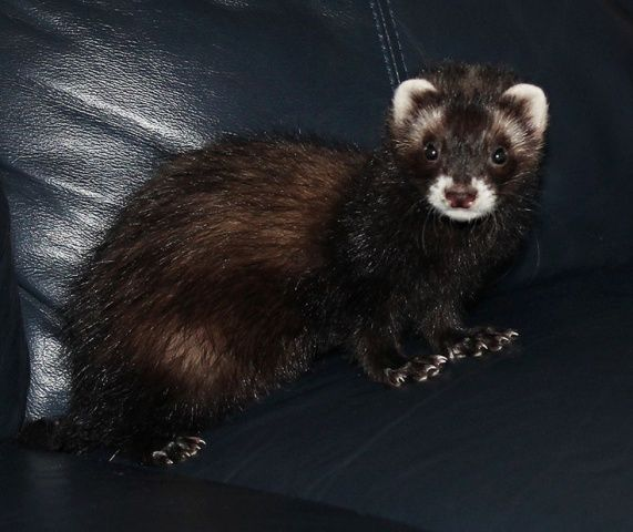 Ferrets in dark place