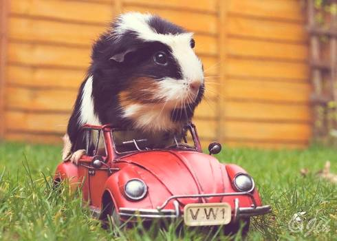 Guinea pig on car