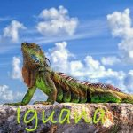 17 Interesting Facts About Iguana