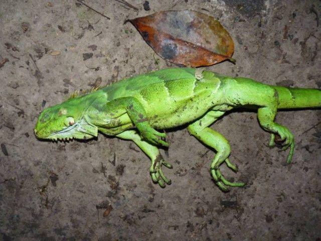 Iguana Suicide
