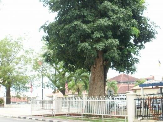 Kuala Kangsar rubber tree