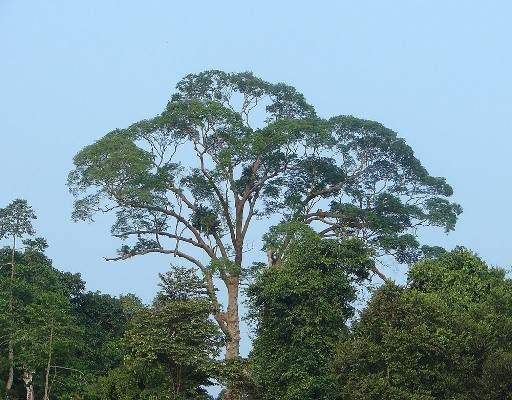 Malaysia Tualang tree