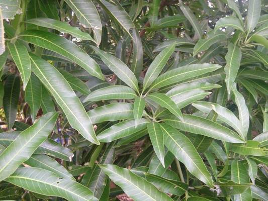 Mango tree leaves