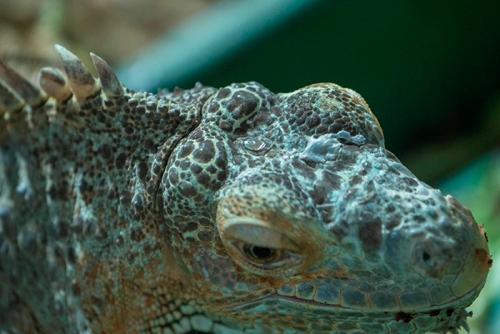 Parietal eye iguana