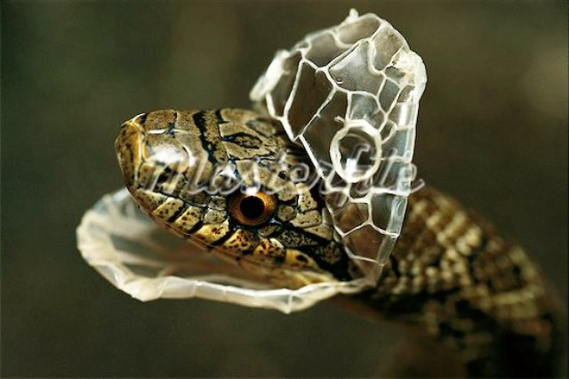Snake Skin Shedding