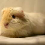 16 Interesting Facts About Guinea Pigs