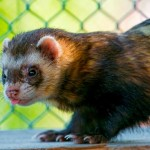 19 Interesting Facts About Ferrets