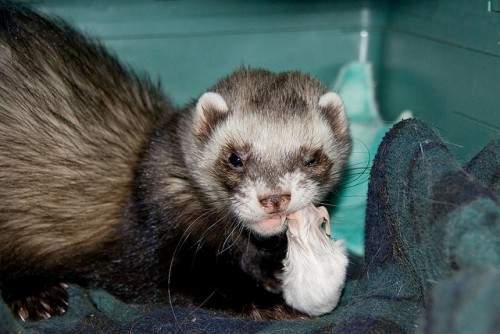 ferret eating