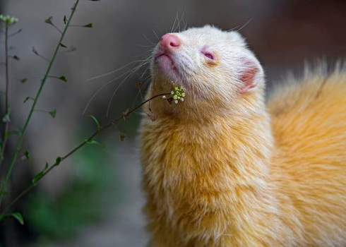 ferret outdoor