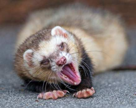 ferret yawn