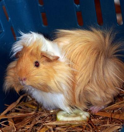 furry guinea pig