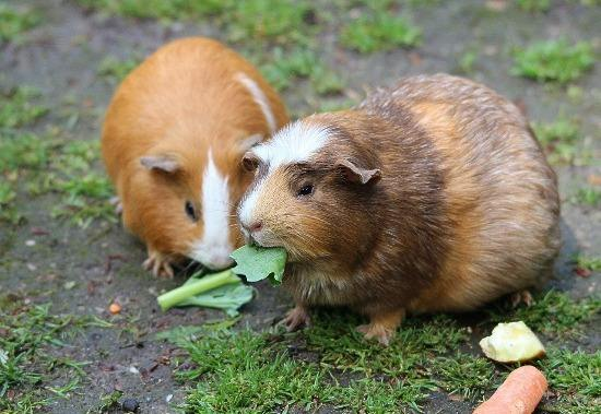 guinea pig eating grass