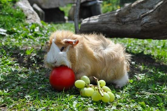 guinea pig eating tomato