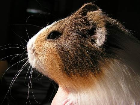 guinea pig potrait
