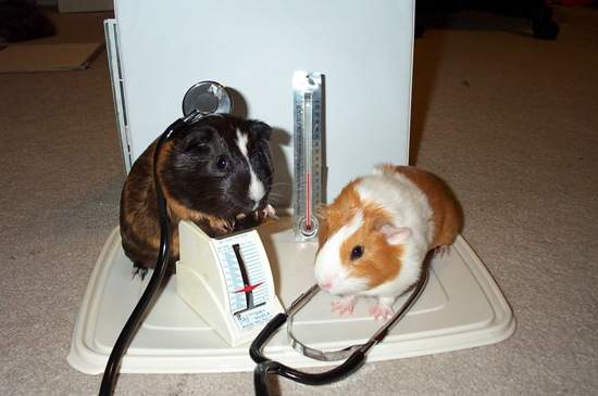 guinea pigs doctor