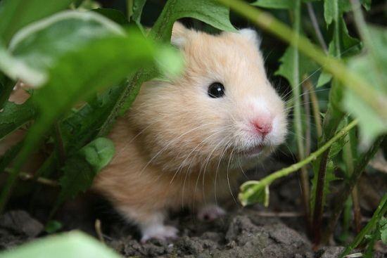hamster digging