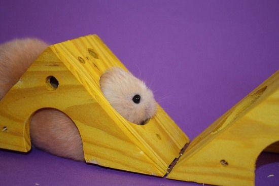 hamster playing