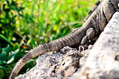 iguana tail