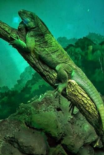 iguana underwater