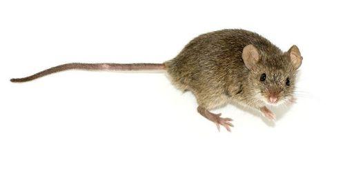 mice tail