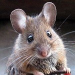 17 Interesting Facts About Mice
