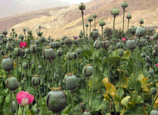 Afghanistan opium production