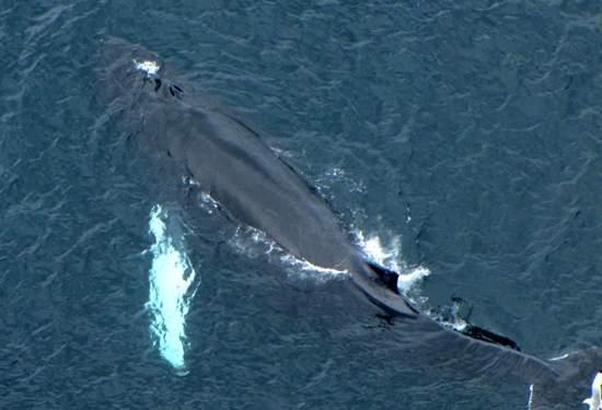 Humpback Whale, blowholes
