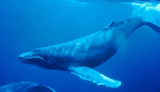 Humpback Whale underwater