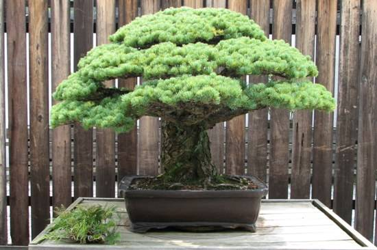 Japanese White Pine, 1625