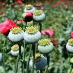 17 Interesting Facts About Opium