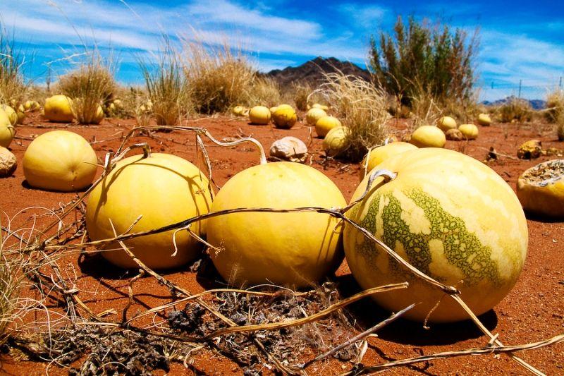 Watermelon in Desert