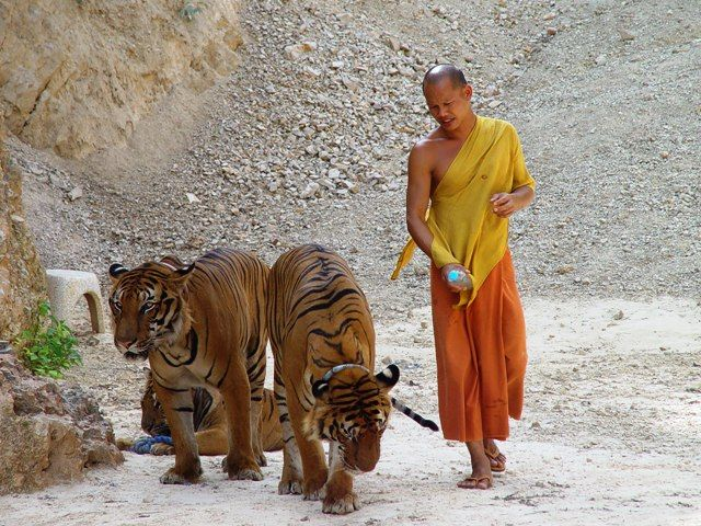 A Buddhist Monk with tigers in tiger temples