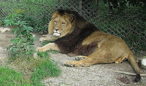 Barbary Lion is the national animal of England
