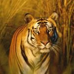 24 Interesting facts about Tigers
