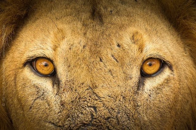 Eyes of a Lion