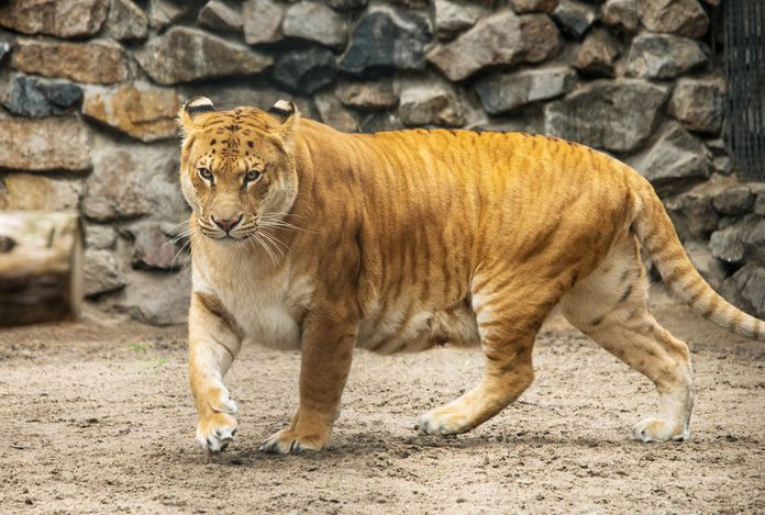Liger walking in Zoo