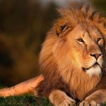 51 Interesting Facts About Lions