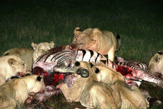 Lions having dinner