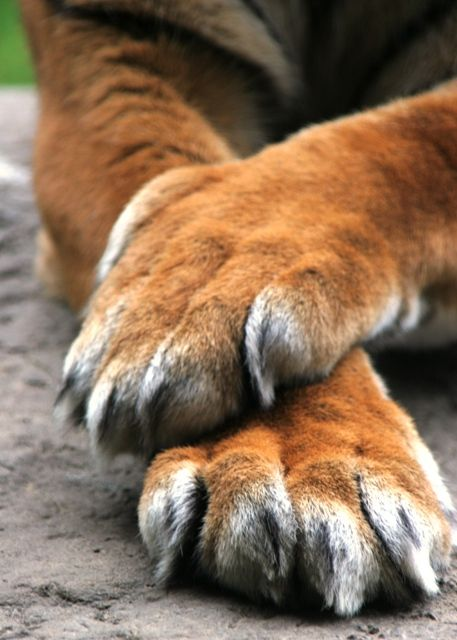 Paws and Claws of Tiger