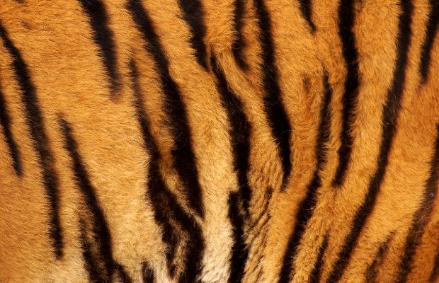 Stripes of Tiger