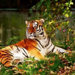 43 Interesting Facts About Tiger